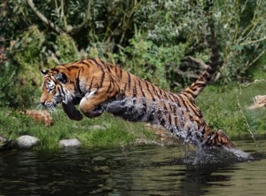 Fearless tiger leaping